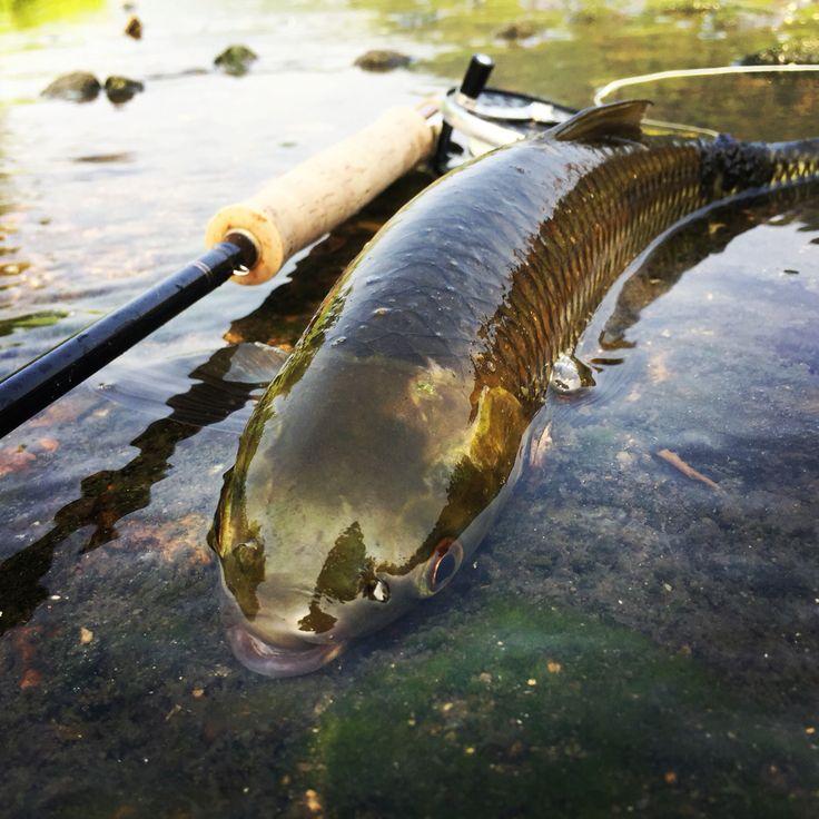 Venus Fish fly fishing 눈불개 플라이 피싱