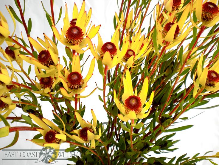 Leucadendron Red Eye - bright golden with a chestnut brown centre. Dainty and more open than other leucadendrons, charming in wildflower bouquets