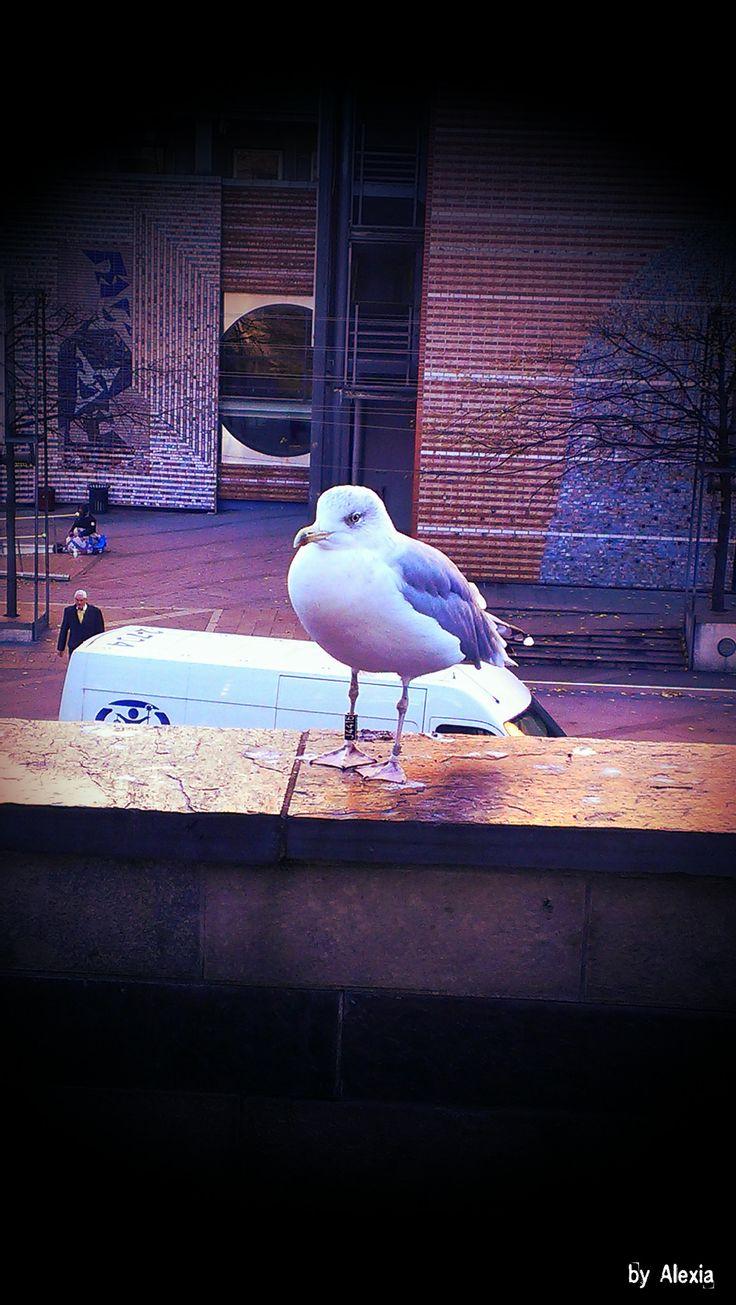 https://flic.kr/p/rN9R9M | Seagull | Norwegian seagull resting..