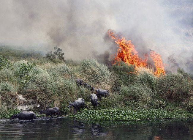 Buvol se snaží utéct před požárem, který se šíří u řeky Yamuna poblíž Dillí…