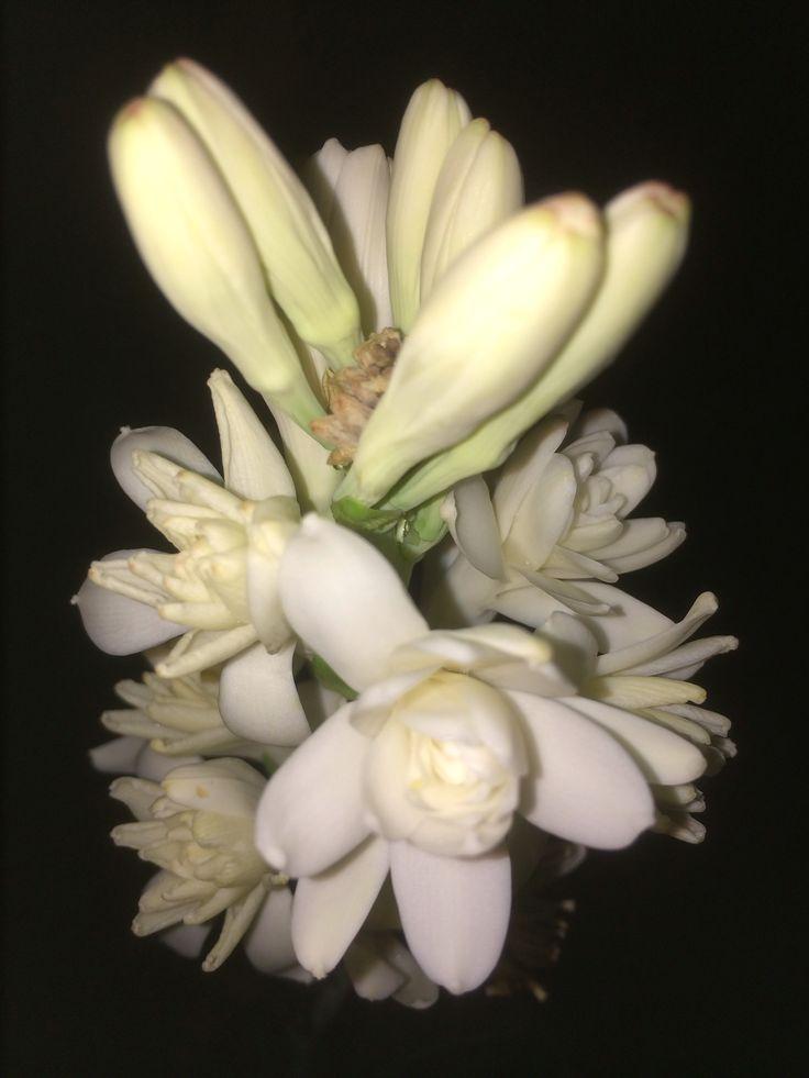 Bunga Harum Malam or scientific name Polianthes Tuberosa
