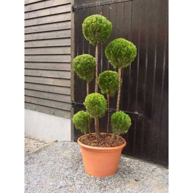 Chamaecyparis lawsoniana 'Alumii Gold' Multi-Kugel / Garten-Bonsai - Baumschule NewGarden