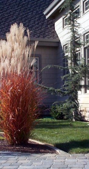 Miscanthus sinensis 'Purpurascens' develops red tints in summer and by early  October is almost scarlet.