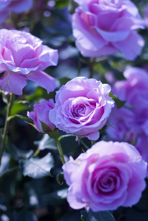 BEAUTIFUL LAVENDER ROSES                                                       …                                                                                                                                                                                 Mais