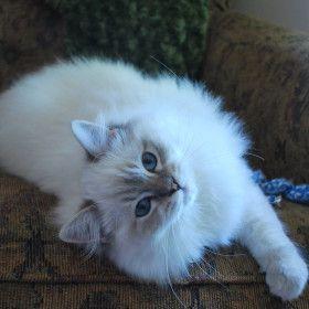 Ragtown Cattery - Ragdoll Cats, Ragdoll Kitten Breeder - Southwestern Ontario, Canada - Ragdolls for Sale