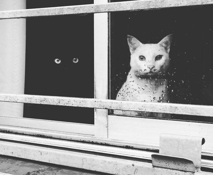 Algumas pessoas dizem que se um gato preto passa na sua frente, é sinal de má sorte, enquanto quando um gato branco cruza por você – é boa sorte. Algumas pessoas dizem o contrário. De qualquer maneira, gatos pretos e brancos são considerados completamente opostos, não só por causa de sua cor, mas também por …