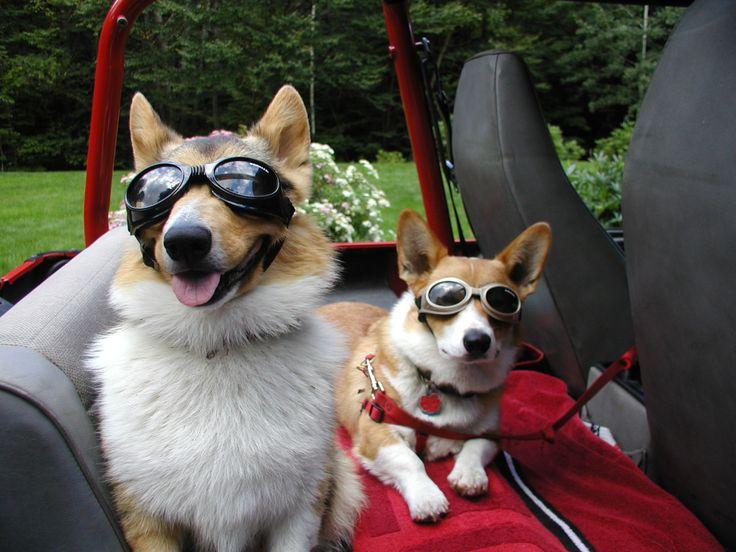 Ready to Roll - Owen & Angus, two doggled Pembroke Welsh Corgis - from corgis-r-stumptastic via OCD: Obsessive Corgi Disorder