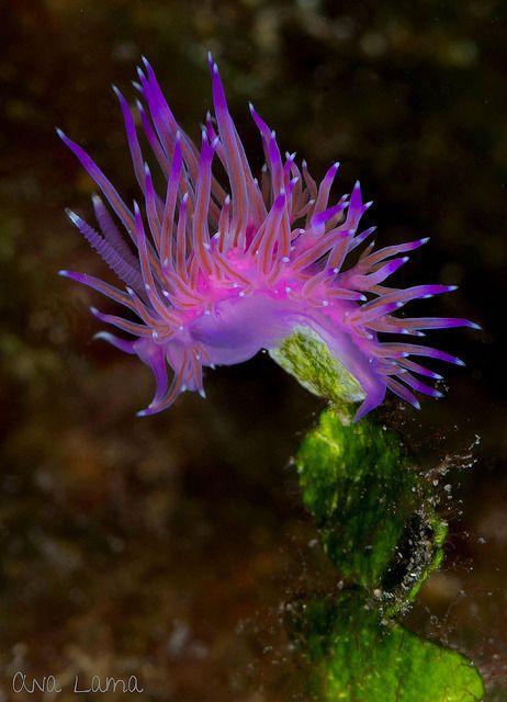 Aolid nudibranch, Flabellina affinis, La barreta de l´arbre 20m deep, Mataró, Barcelona, Spain. photo by Ana Lama