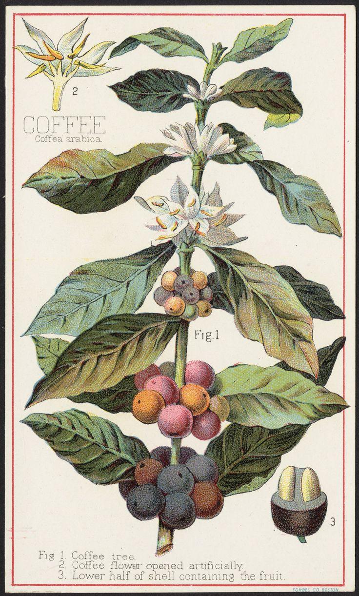 Krzew szczepu Arabica #kawa #coffee #WeBrew
