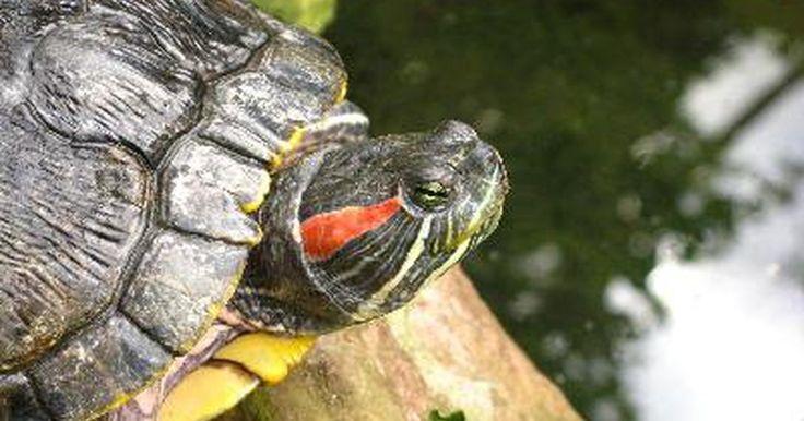Cómo hacer un tanque para tortugas de orejas rojas. Las tortugas de orejas rojas son muy pequeñas de bebes, pero rápidamente pueden crecer hasta ser adultos grandes de 12 a 16 pulgadas (30 a 40 cm). Requieren acuarios extremadamente grandes, filtración constante y bastante luz. El acomodo del acuario de una tortuga de orejas rojas es la clave para su salud, y un tanque con un funcionamiento ...