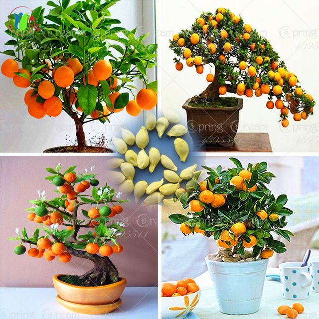 40/Мешок Бонсай Orange Tree Семена Органические Семена Плодовых Деревьев Для цветочный горшок горшки очень большой и очень вкусный