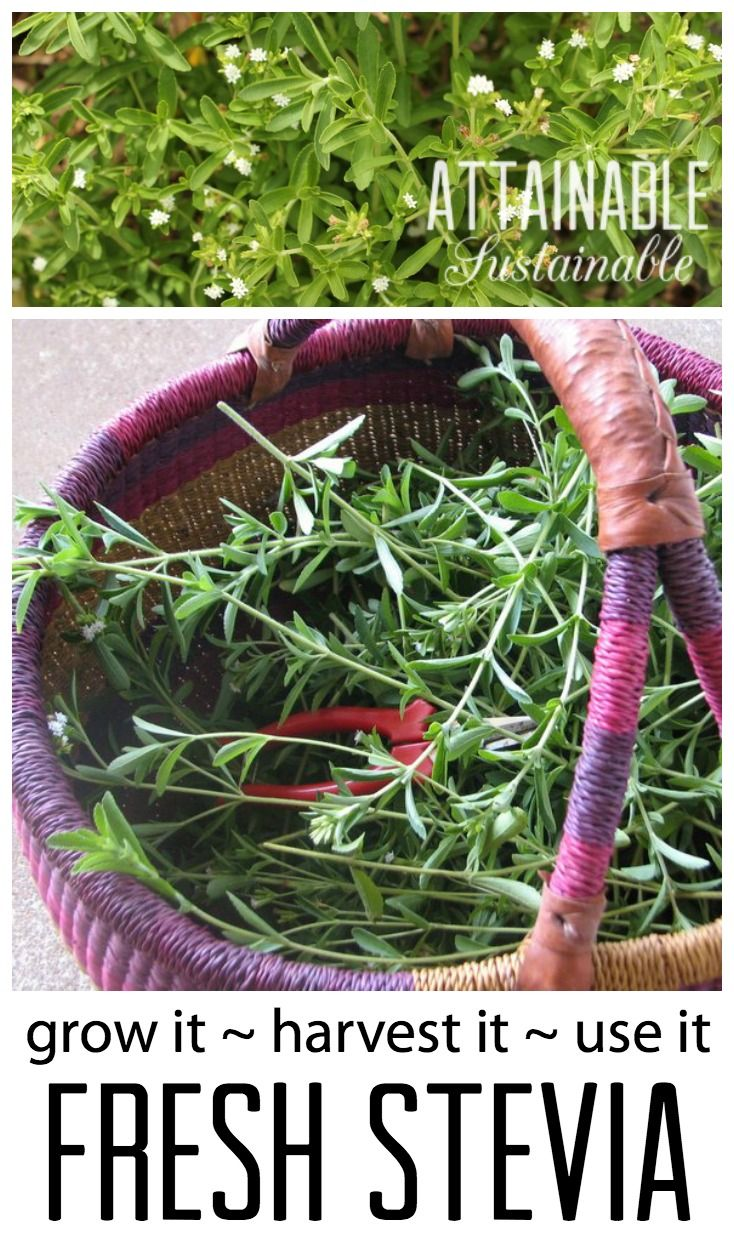 Fresh stevia is a natural sweetener that's a pretty addition to your herb garden, calorie free, and easy to grow. Here's how to get started growing your own natural sugar replacement! Garden ~ prepping ~ homestead ~ grow your own ~ seeds ~ vegetables