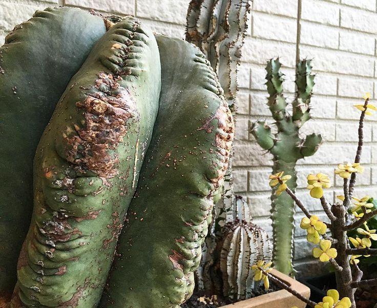 . . . 先日 師匠のhouseで捕獲したユーフォ . . 宇宙人にしか見えん(O_O) . そして名前わすれてモタ笑 しゃーないのでバルちゃんと呼んでます  . . 子ども達に人気のバルちゃん  すぐズッコケる; . さすが関西人笑 . . あー帰りて(T  T) . w . #3yst_Nig #cactus #suculent #botanical #botanicallife #botanicalgarden #euphorbia #サボテン#ユーフォルビア#ポリゴナ#スノーフレーク#ヘキラン#ランポー玉 #銀杏木#亀甲竜#polygona by yumiko1977118
