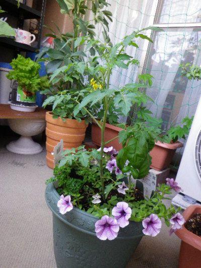 ベランダ菜園。ホームセンターの園芸の先生が言ってた。  「トマトとバジルとペチュニアはおなじナス科ですので、寄席植えは可能です」  ちょっと寄せ過ぎじゃないだろうか・・・。