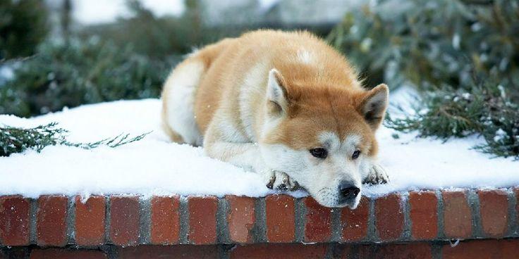 Hacsi - A leghűségesebb barát /Hachiko: A Dog's Story, 2009/