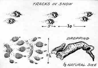 fisher-cat-tracks