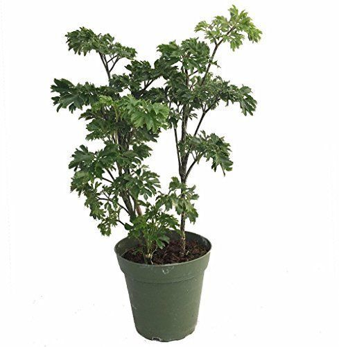 Japanese-Ming-Pre-Bonsai-Tree-Plant-Polyscias-Indoor-4-034-Pot-Hooseplant-Best-Gift