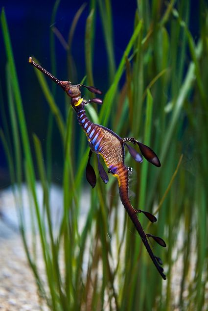 Great seahorse with backdrop