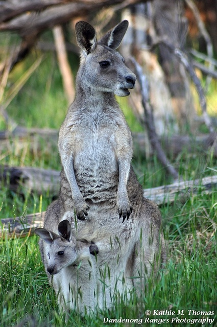 """You look that way and I'll look this way"".  Eastern grey kangaroo and joey in pouch."