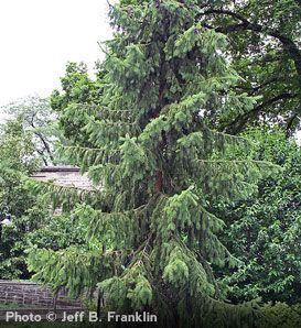 Popular The most graceful of all spruces the Serbian Spruce offers thin arching branches with a