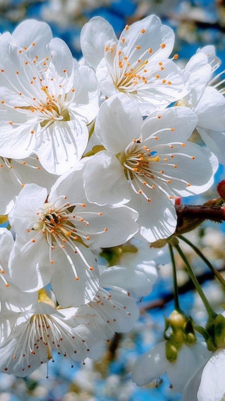 White Close Up Cherry Tree Spring Blossom 720x1280 Wallpaper White Flowering Trees Cherry Blossom Wallpaper Cherry Blossom Flowers