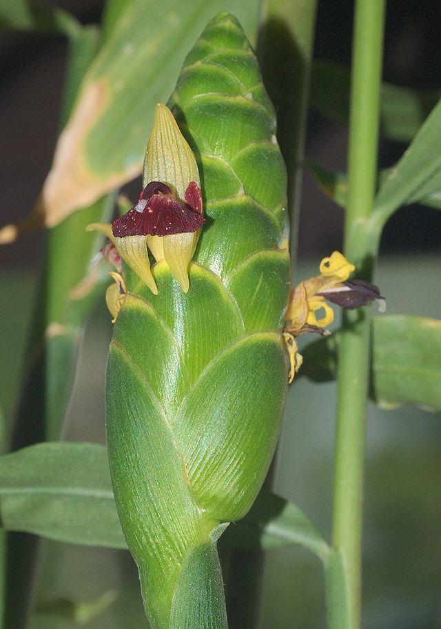 Ingwer - Blütenstand (Foto© GFDL)