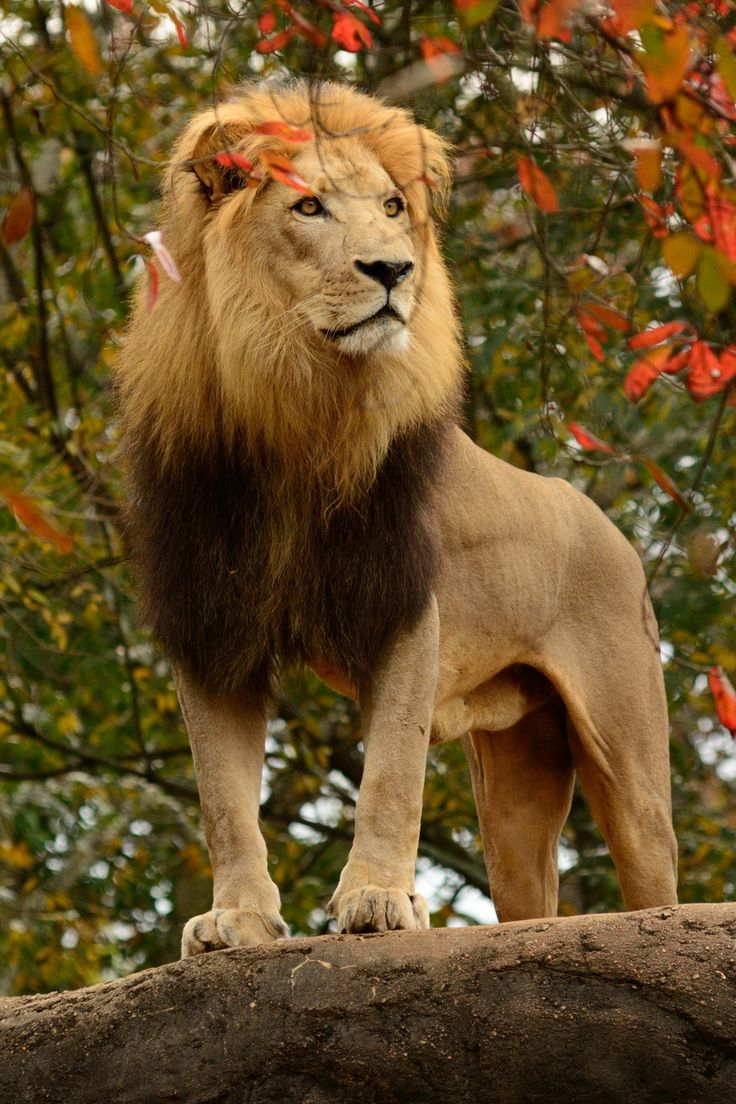 Autumnal Lion | Shared by LION