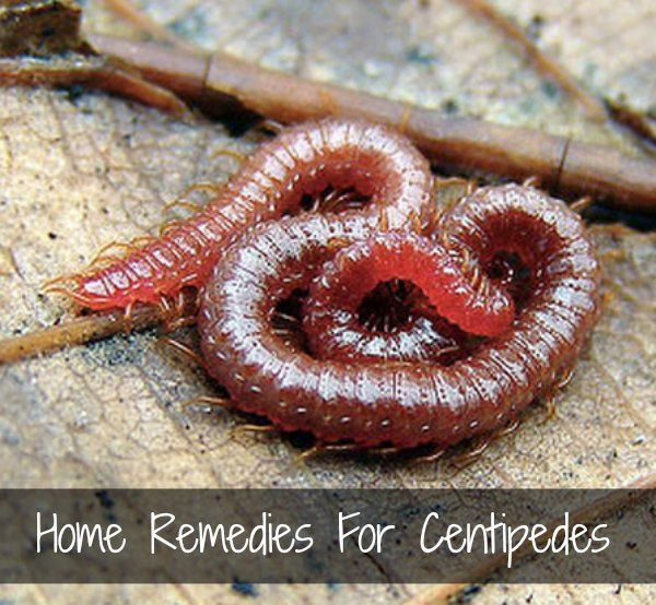 Remedies For Centipedes Garden Insects Pests Bites