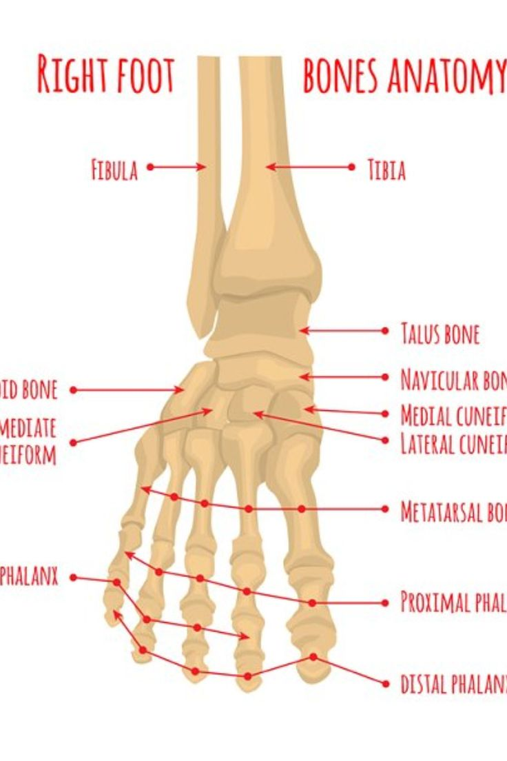 Foot bones anatomy. Human skeleton. Horizontal medical ...