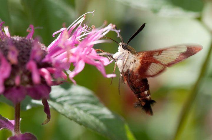 Le Moro sphinx ou encore Sphinx colibri est un papillon détenant une très longue trompe lui permettant de butiner les fleurs, souvent violettes, bleues ou encore blanches, en vol stationnaire à la manière des oiseaux-mouches. Ils butinent en général le nectar des fleurs que les autres insectes ne peuvent pas atteindre.