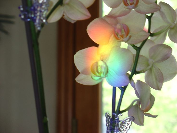 rainbow on orchid