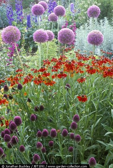 Allium giganteum, Helenium 'Moerheim Beauty' and Allium sphaerocephalon