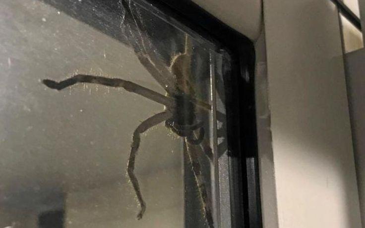 Une araignée géante s'invite dans la cuisine d'un couple d'Australiens