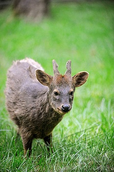 Southern Pudu. The pudú inhabits temperate rainforests in South America, where the dense underbrush and bamboo thickets offer protection from predators.