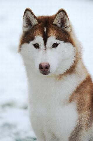 such symetrical markings and beautiful eyes (husky world/fb)