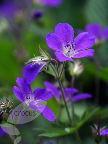 Geranium himalayense 'Gravetye' Pot size: 1 Litre Plant size: 45cm (18in) Growing condition: Partial - full shade Flowering season: June July August