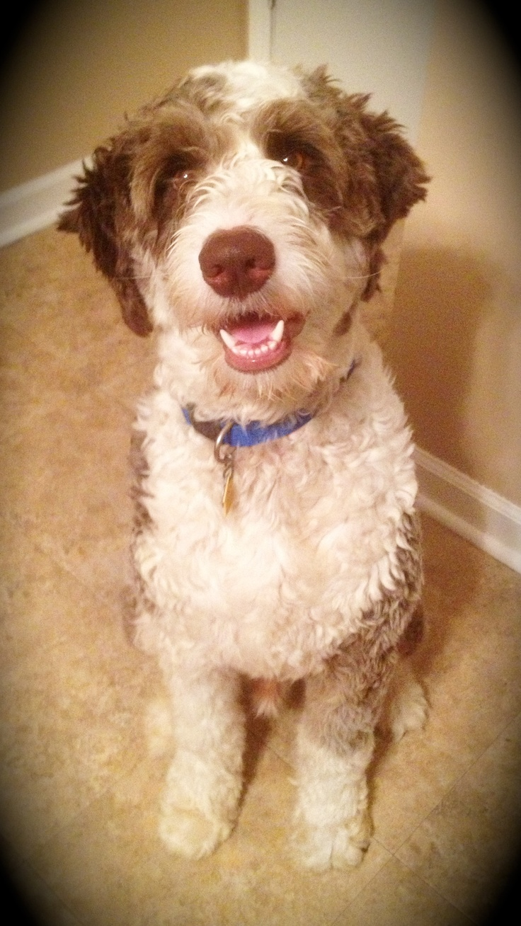 Aussiedoodle Haircut Ruby Blue Amp Roman Boy Pinterest