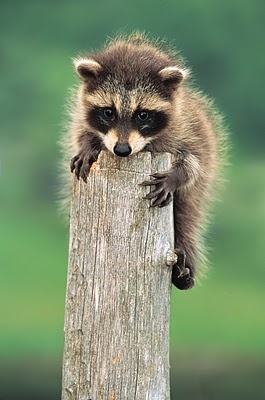 Raccoon babies are curious critters :)