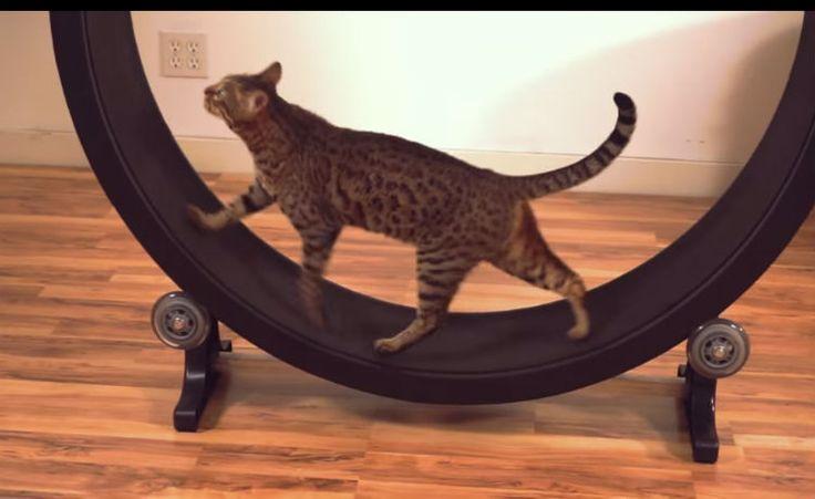 Roda de exercícios para gatos ganha versão mais prática
