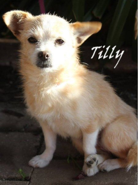 My name is Tilly and everyone says I'm adorable! I am a 17 month old terrier blend and I would love to become a part of your family. I have been -  Vet Checked Desexed Vaccainted M Chipped 98200035674305  Wormed & flea treatment Contact:  T: 03) 5427 3603  E: shelter@petshaven.org.au — at www.petshaven.org.au.