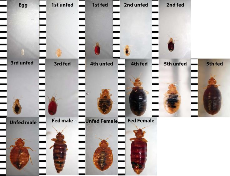 Bed bug identification chart - Want to know if you have seen a #BedBug? Consult this chart for pictures of #BedBugs at each life stage: egg, unfed and fed first through fifth nymphal instars. Unfed and fed male and female (ruler in mm).