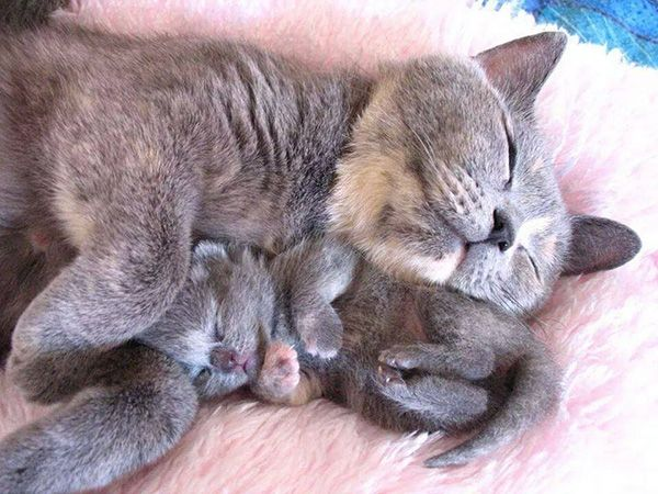 Kitten snuggled up with mommy Your Pics Galleries