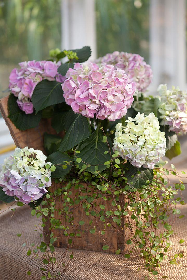 Hortensians tid är nu och med rätt knep kan du njuta av de vackra blommorna länge – oavsett om du föredrar den i kruka eller som snittblomma.