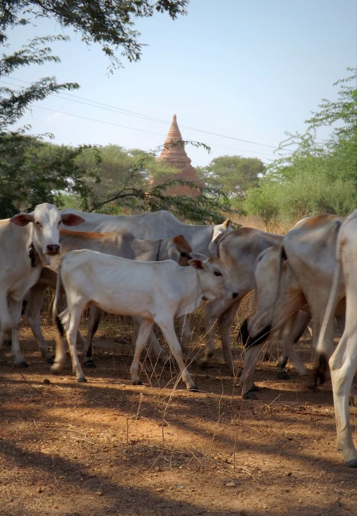 As I made my way home to the hostel, I noticed a herd of cows crossing in front of a temple and pulled over to capture this shot in the dusty air. Bagan, Myanmar. (2014)