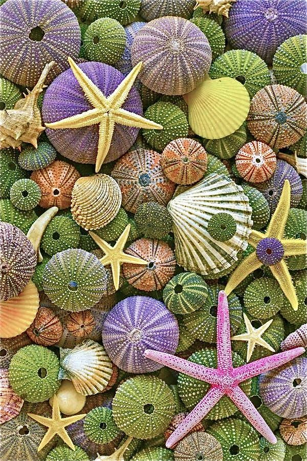 Sea urchin shells, star fish, scallop shells; lovely range of colors.  Treasures from the Sea