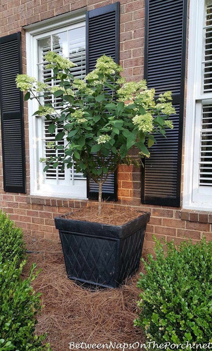 Best 25+ Limelight hydrangea ideas on Pinterest | Hydrangea ...