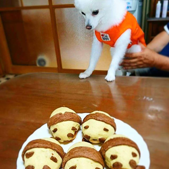 どうせこれ食べちゃいけないって言うんでしょ😩 #パンダパン #パンダ #パン #上野のパンダ #パンダの赤ちゃん #ばぁば手作り #上野 #panda  #bread #いいにおい #白黒 #ちゃちゃ丸 #ちゃちゃ #ポメラニアン #ポメラー #ポメ #上野動物園 #手作り #handmade  #pomeranian  #白い犬 #ふわふわ #ふわ #犬 #愛犬 #ふわもこ #ふわもこ部 #わんこ