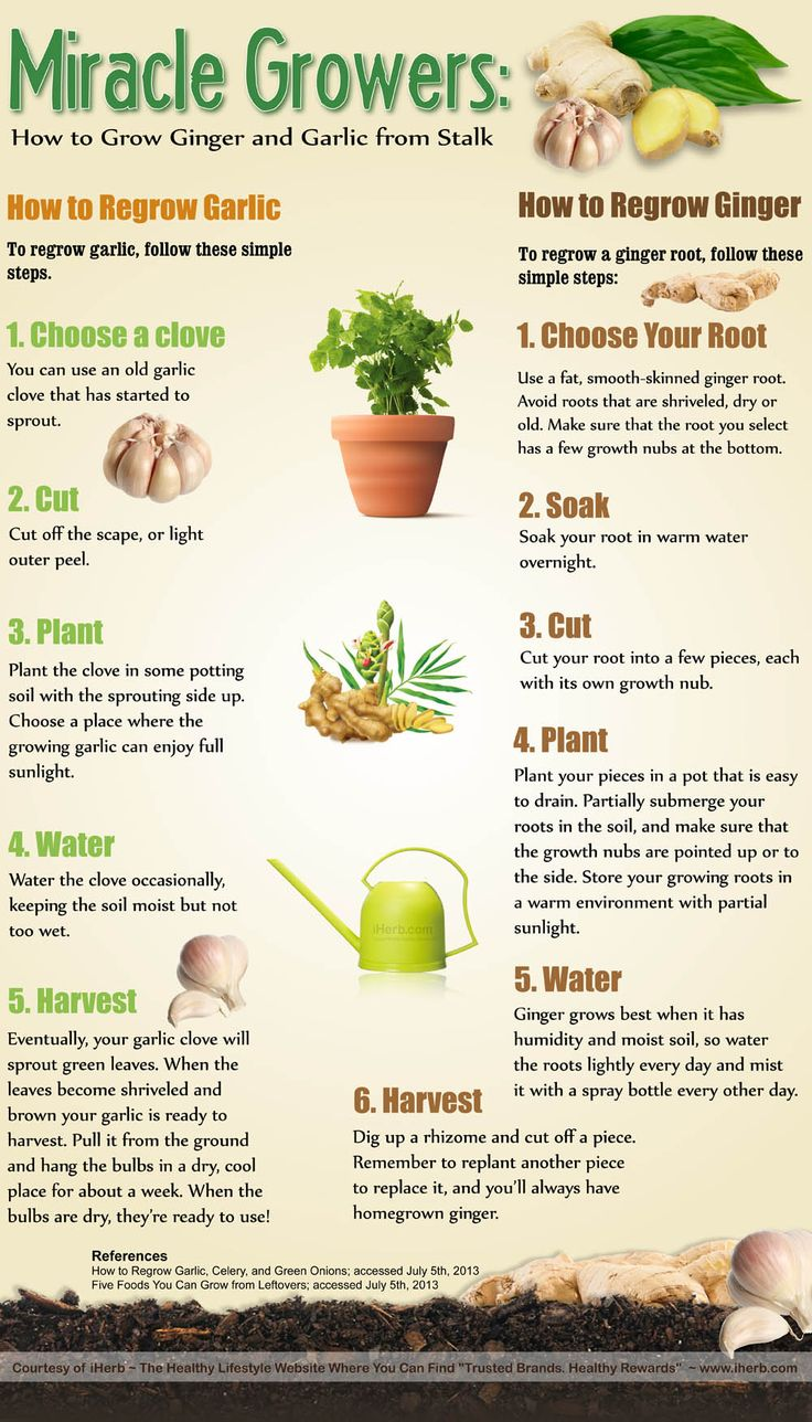 how to regrow garlic and ginger infographic infographics pinterest stains infographics. Black Bedroom Furniture Sets. Home Design Ideas