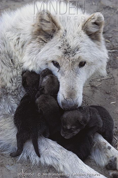 Jim Brandenburg / Timber Wolf (Canis lupus) mother with litter of pups, Minnesota / 00110950
