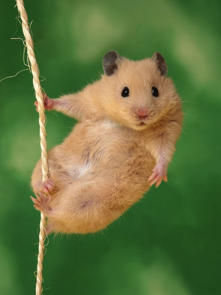 hamster com video